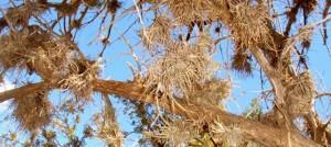 Juniper Trees Cayo Sabinal